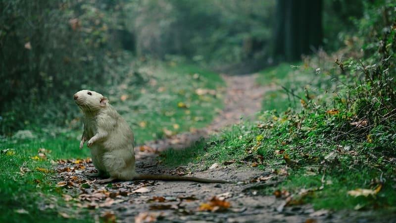 Фото белой крысы