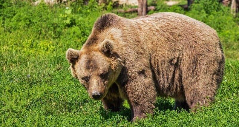 Фото бурого медведя