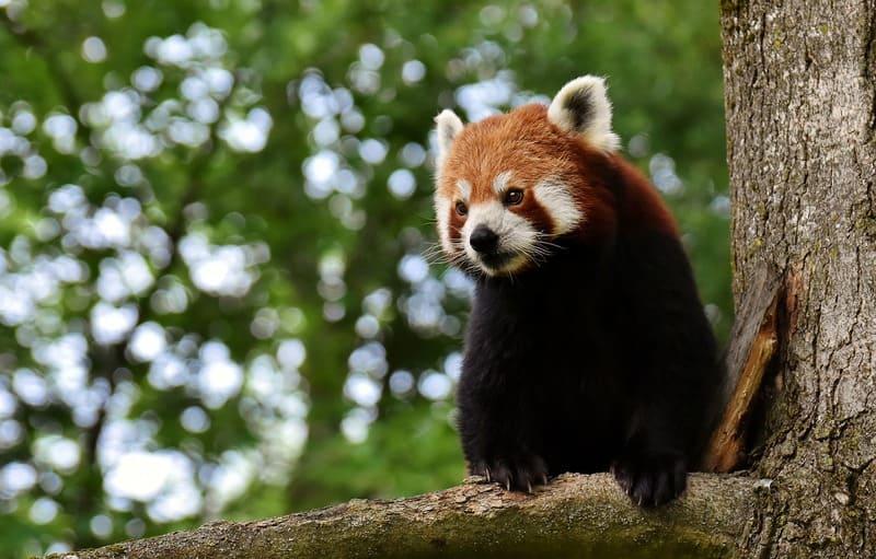 Фото красного медведя