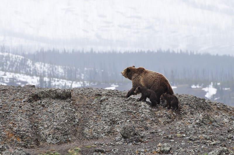 Фото медведя с медвежатами