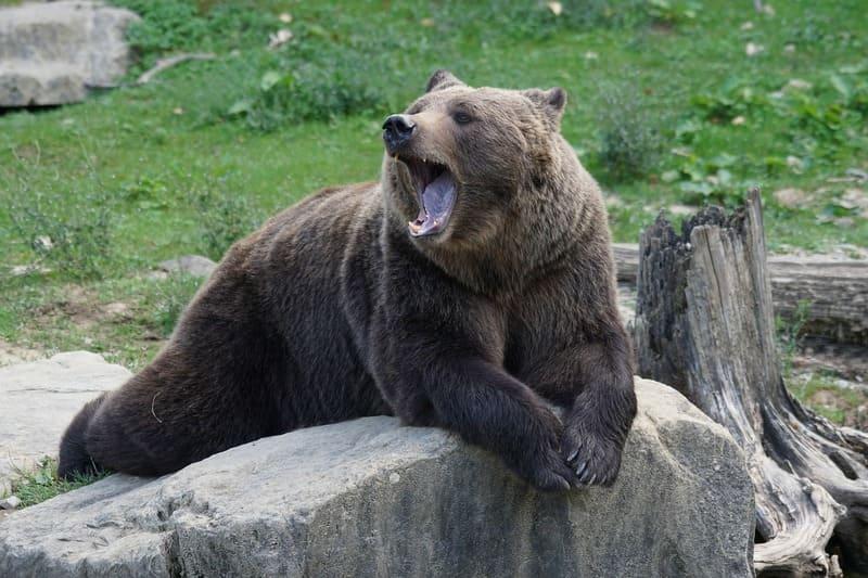 Фото зевающего медведя