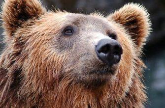 Фото медведя_главная