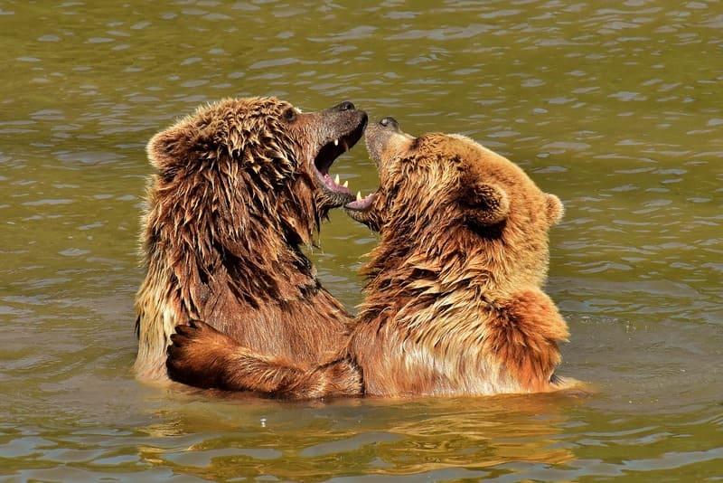 Фото играющих медведей