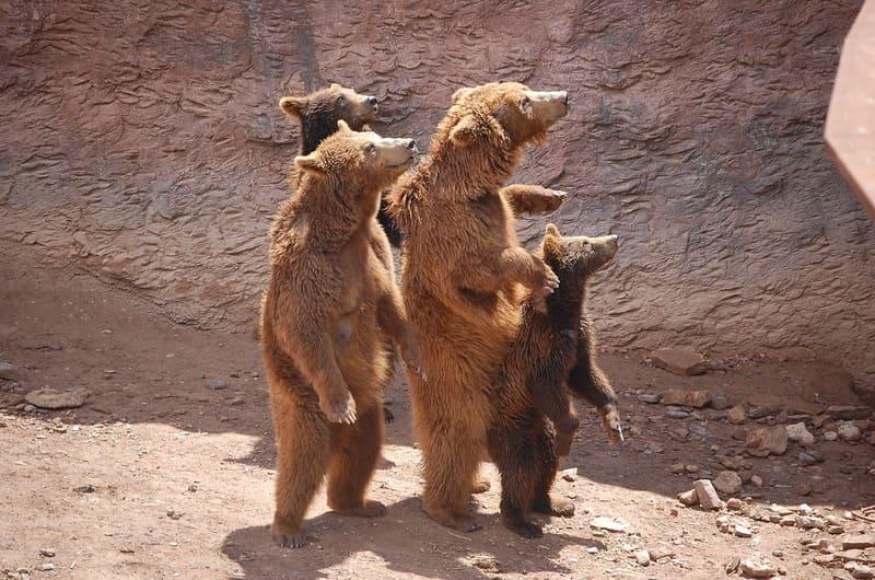 Фото стоящих медведей